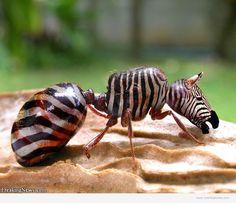 Zebraant