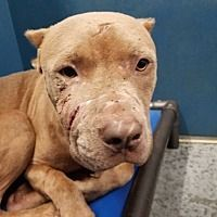 Pictures of Torque a Pit Bull Terrier for adoption in Henderson, NC who needs a loving home.