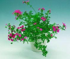10 kauneinta kesäkukkaa Verbena, Plants, Plant, Planets