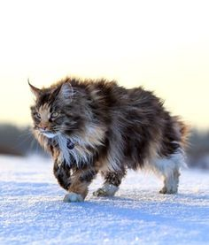 this is not a wild cat, but a beautiful Maine Coon http://www.mainecoonguide.com/what-is-the-average-maine-coon-lifespan/