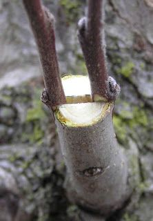 We know that grafting or graft is a common term in planting. Grafting is a  horticultural  technique whereby  tissues  from one  pla...