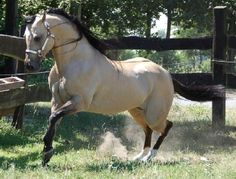 -Zuchtstuten , Verkaufspferde und Deckhengste - Quarter Horses - Paint Horses - Appaloosas | www.star-breeders.de