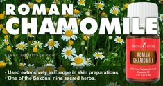 Young Living Roman Chamomile Essential Oil - Buy Here Chamomile Oil, Chamomile Essential Oil, Roman Chamomile, Buy Essential Oils, Pure Essential, Young Living, Sage, Health And Wellness, Essentials