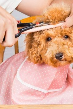 Dog Grooming Leave In Conditioner Goldendoodle Haircuts, Goldendoodle Grooming, Dog Haircuts, Dog Grooming Tips, Poodle Grooming, Grooming Shop, Yorkie, Poodle Haircut Styles, Toy Poodle Puppies