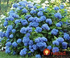 Toto dávam pod hortenzie a kvitnú ako na baterky celú sezónu: Ak chcete, aby boli obsypané kvetmi, skúste to aj vy!