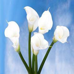 Calla Lily White 18 White Calla Lilies - http://flowersnhoney.com/calla-lily-white-18-white-calla-lilies/