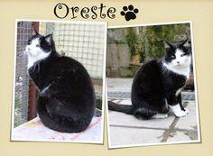 ADOTTA UN GATTO ANZIANO: ORESTE, il boss del gattile, cerca casa come figlio unico