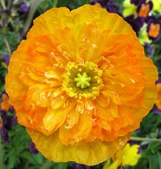 Poppy in Claude Monet's garden (Giverny, France)