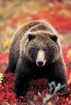 Grizzly bear in Alaska: Have any Questions? I didn't think so :) He is Great Looking Grizzly!