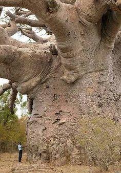A man standing next to a Baobab tree