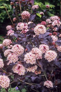 Get fantastic results and garden benefits even faster than usual with these plant picks. Top 10 fast growing shrubs.