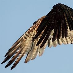 Победитель из числа профессиональных фотографов: крылья скопы