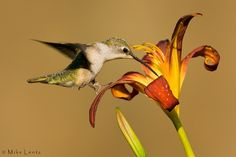 Pretty Ruby Throated Hummingbird sipping the nectar from the flower