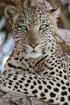 animals wild beautiful creatures mammals Beautiful cheetah with beautiful green eyes Beautiful Cats, Animals Beautiful, Cute Animals, Gorgeous Eyes, Wild Animals, Pretty Eyes, Colorful Animals, Baby Animals, Nature Animals
