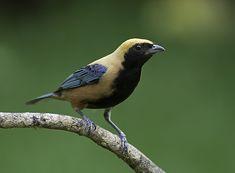 Little birds, Saíra-amarela, Tangara cayana