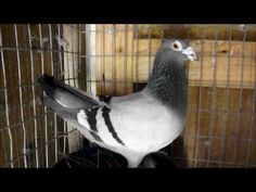 Racing Pigeons, Youtube, Tips, Youtube Movies