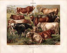 ca 1890 CATTLE BULL COW BREEDS Antique Print