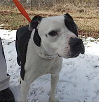 """Adopted!! Id# 0146  """"Monty""""    Bulldog / pittie ? mix_ male_ --- Tilts his head because he does not understand why he's here,,, he sits like a GOOD BOY and is nice on a leash !! One of my """"least chance"""" babies ONLY because of breed discrimination   he is TOO precious to die here !!!  http://www.adoptapet.com/pet/10267846-rome-georgia-pit-bull-terrier-mix"""