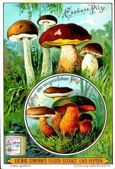 1900.  Edible Fungi (No. 1) trading card issued by Liebig Extract of Beef Company. S631.