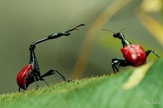 These insects are called giraffe weevils and they also live on Madagascar. The males have long necks which they use for fighting each other over a female.