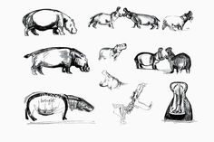 Hippo sketches from the field & observation