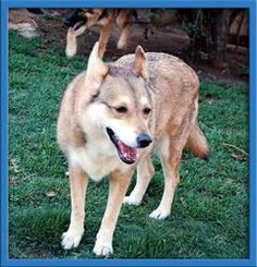 Penny is an adoptable German Shepherd Dog Dog in Stanton, CA. For the most current information and if Pennyis still available to adopt please copy the link below into your broswer and visit our websit...