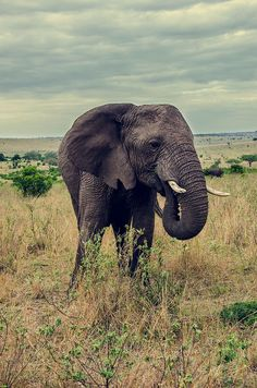 Elephant in Masai Mara, Kenya. All About Elephants, Elephants Never Forget, Save The Elephants, African Elephant, African Animals, African Safari, Animals Of The World, Animals And Pets, Cute Animals