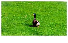 Wildente Bird, Animals, Animales, Animaux, Birds, Animal, Birdwatching, Animais