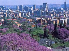 Pretoria is famous for its lovely jacaranda trees. Students used to say that as soon as the jacaranda starts to blossom it is time to buckle down and study :-) ... There are also jacarandas in Pietermaritzburg and in Durban ...
