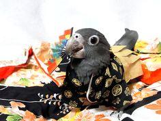 Parrot in hakama. Ridiculous!