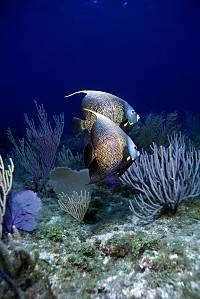 *French Angelfish by Keoki and Yuko Stender