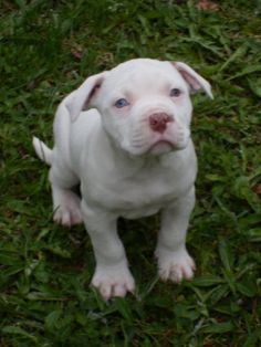 pitbull puppie