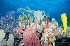 Southwest Caye Wall Dive Site, Glover's Reef Marine Reserve, Belize, Central America; a coral reef scene with sponges, hard and soft corals,...