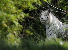 Os tigres brancos são raros  Foto: AFP