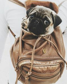 Thank you to @thor_carlinopug! Such a cutie! ==) TAG or MENTION us to be featured ...⠀ #pugsnotdrugs #puglife #pugpower #puglove #dogs