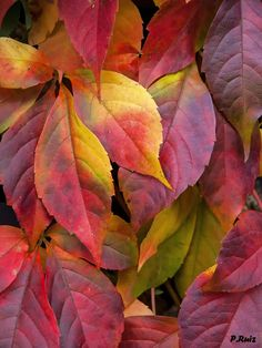 Colorful leaves | autumn flowers on a vine in Graz ... | Flickr - Photo Sharing!