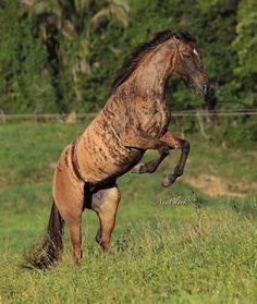 Tigresa Dash brindle By Ana Clark All The Pretty Horses, Beautiful Horses, Animals Beautiful, Simply Beautiful, Rare Horses, Wild Horses, Brindle Horse, Rare Horse Colors, Types Of Horses