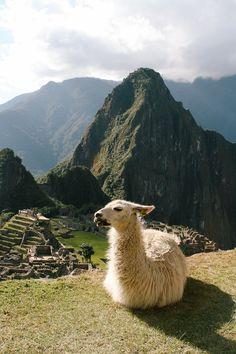 Incas land: Machu Picchu and llama, Peru.