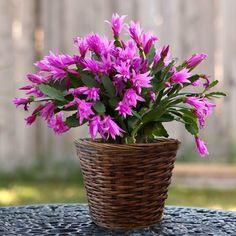 Christmas Cactus Plant, Easter Cactus, Cactus Flower, Flower Pots, Flowers, Cacti And Succulents, Planting Succulents, Cactus Plants, Cactus Decor