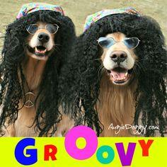 Two groovy golden retrievers!