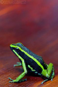 Three-striped Poison-Frog (Ameerega trivittata)   by Lucas M. Bustamante