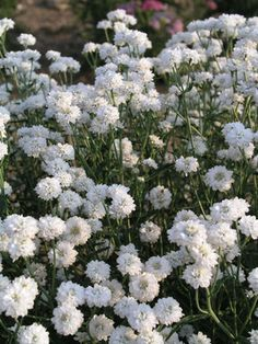Achillea Angel's Breath.  H 2'.  A prolific flowering carefree plant. Sprays of pure double-white flowers in late spring are produced over a long period. Finely toothed foliage is dark green. Flowers of Achillea Angel's Breath resemble Gypsophila. -