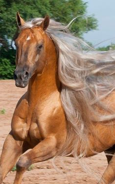 They spliced this horses genes with Fabio. Yet another horse with hair better than I'll ever have. Horses And Dogs, Cute Horses, Horse Love, Wild Horses, Animals And Pets, Cute Animals, Most Beautiful Horses, All The Pretty Horses, Simply Beautiful