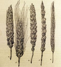 Pictures from Monticello: Wheat and Rye