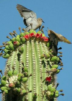 dove and a gilded flicker battle over saguaro fruit in Phoenix. - AZA dove and a gilded flicker battle over saguaro fruit in Phoenix. Desert Cactus, Desert Plants, Cacti And Succulents, Cactus Plants, Indoor Cactus, Cactus E Suculentas, Desert Animals, Photos Voyages, Cactus Flower