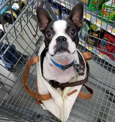 "64 Likes, 3 Comments - Sir Buggy Chaplin the Boston T (@bostonterrierbug) on Instagram: ""Mom upgraded me to a purse dog  I love it!  #bostonterrier #frenchie #dog #dog #puppy #pup…"""