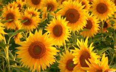 sunflower wallpaper containing a helianthus, a mirasol, and an arctotis stoechadifolia in The Flowers Club Beautiful Flowers Garden, Happy Flowers, Flowers Nature, My Flower, Pretty Flowers, Cut Flowers, Yellow Flowers, Aesthetic Desktop Wallpaper, 1920x1200 Wallpaper
