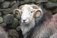 If I ever keep sheep a Herdwick would be there!