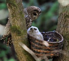 Baby owl in a basket