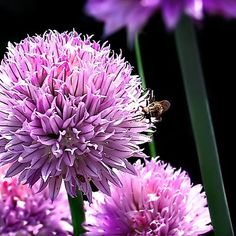 "Chives - Hardy Perennial - Easy to Grow! - 3"" Pot Hirts: Herbs http://www.amazon.com/dp/B0085OD6RC/ref=cm_sw_r_pi_dp_aJpHwb1A2SPMC"